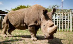 Muere el último rinoceronte de Malasia
