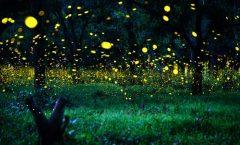 La luz artificial amenaza el habitat de las luciérnagas