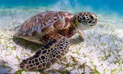 Las tortugas marinas confunden el plástico con alimento