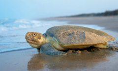 Las tortugas y sus señuelos de protección