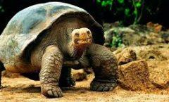 Al mar en Galápagos tortugas salvadoras de su extinción