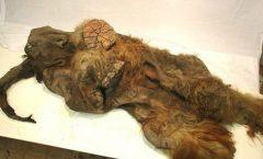 Mamut bien conservado de hace 10 mil años