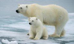 Por deshielo los osos polares estan en extinción