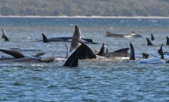 Mueren ballenas en Tasmania