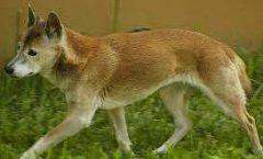 El perro cantor de Papúa no esta extinto