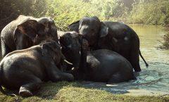 Por envenenamiento por cianobacterias 330 elefantes