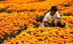 La flor de cempasúchil, un ícono de México