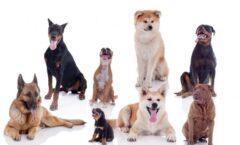 Los perros tienen como origen común una antigua especie de lobo no extinta