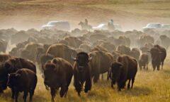 Manada de bisontes que no se había visto en 100 años en Coahuila