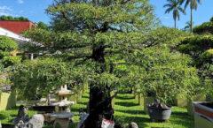 Un bonsái de 500 años en Fortín de Las Flores