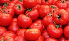 El origen del tomate, su distribución y descubrimiento