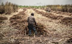 La zafra, cerca de un millón de personas dependen del endulzante en  Veracruz.