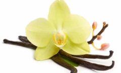 El poder de… La vainilla  Vainilla en flor con frutos en forma de vainas