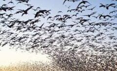 Hallan gen de migración en las aves