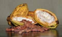 Rescatan productores de Tabasco y Chiapas al cacao de almendra blanca