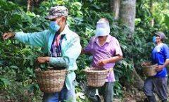 El corte del fruto rojo (café) es un proceso cansado e infortunadamente mal pagado